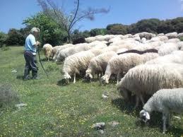 πρόβατα -